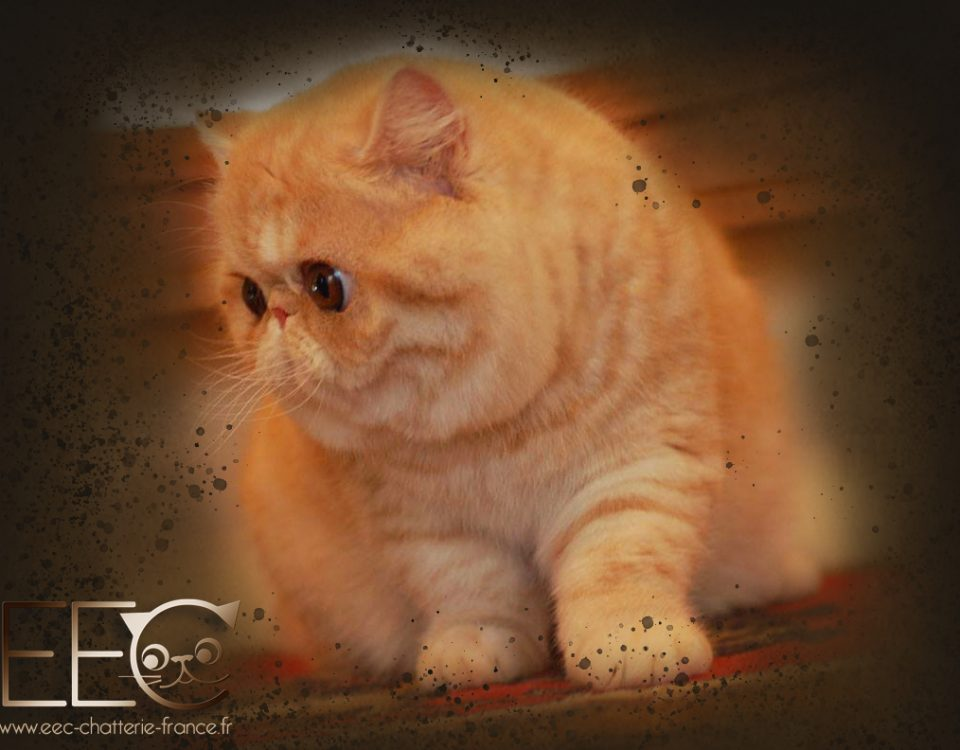 Ruslana's Buttercup, exotic shorthairt red silver tabby