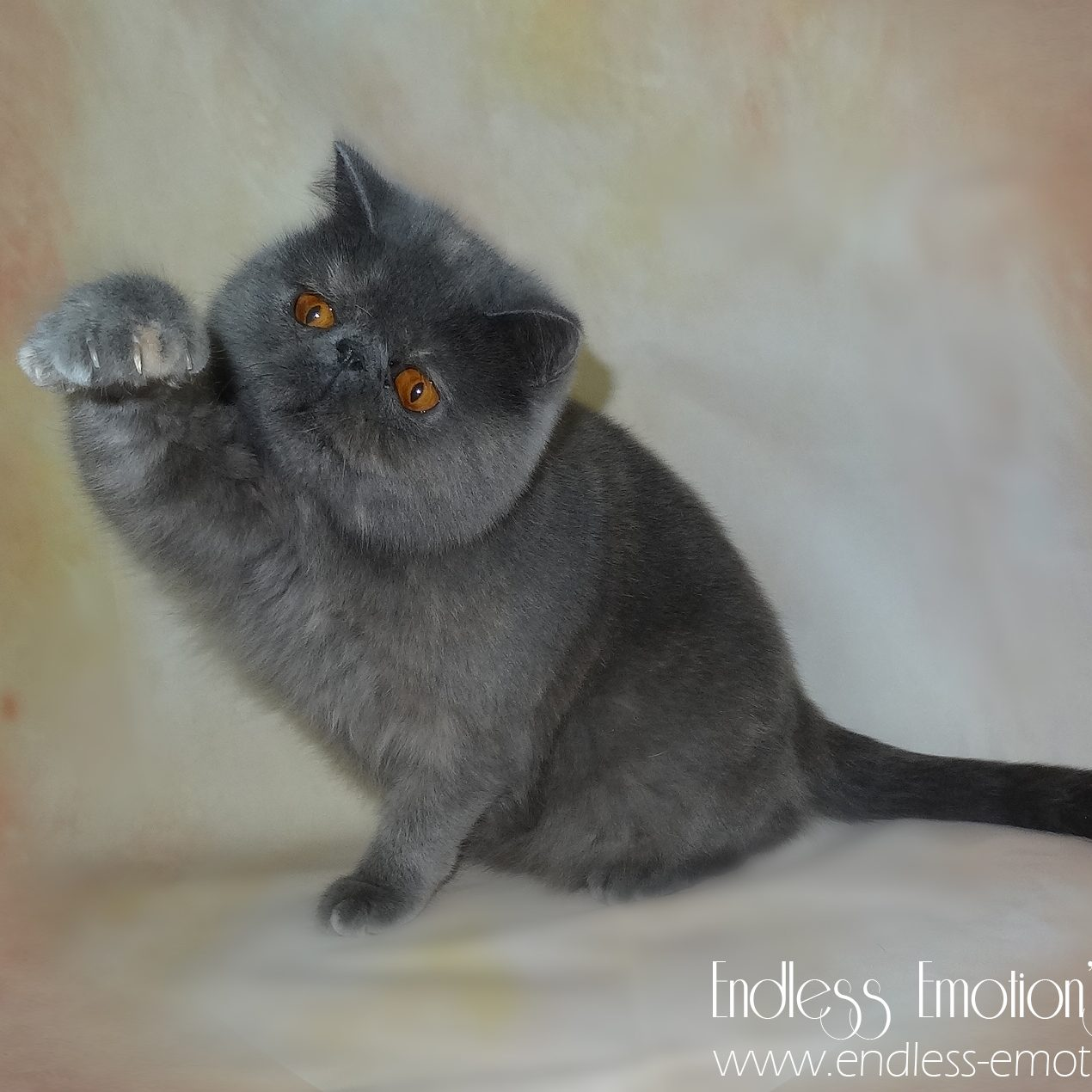 Exotic Shorthair Cat Breed information and personality  – EEC