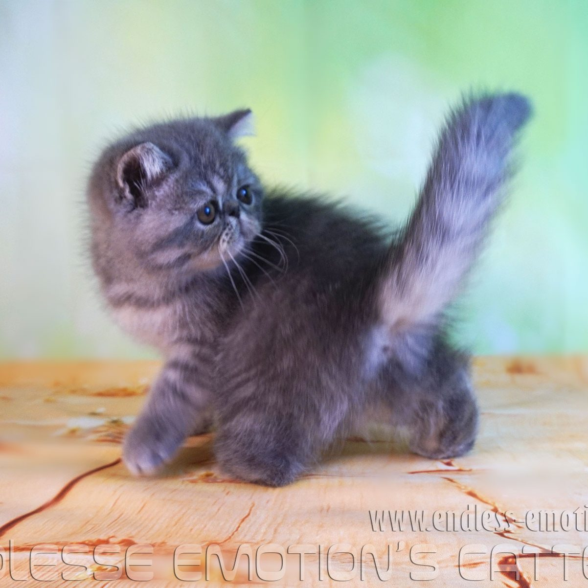 exotic shorthair blue mackerel tabby girl , 2017