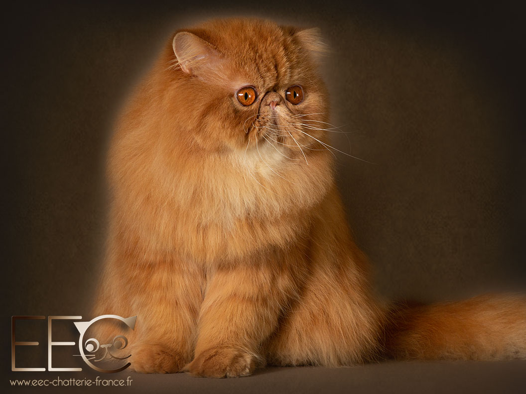 Chatterie Endless Emotion's - persan red tabby