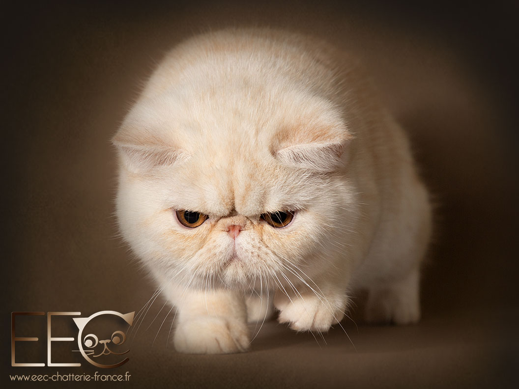 Endless Emotion's Ourson Polaire, exotic shorthair red silver shaded