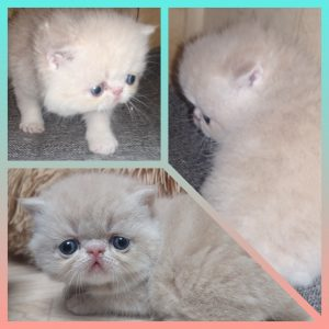 Endless Emotion's Robinson - chaton exotic shorthair crème
