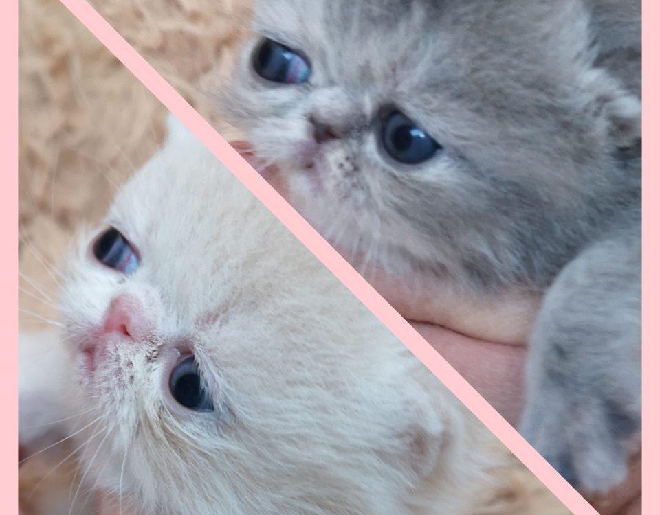chatons nés dans la chatterie Endless Emotion's le 25 mars 2020