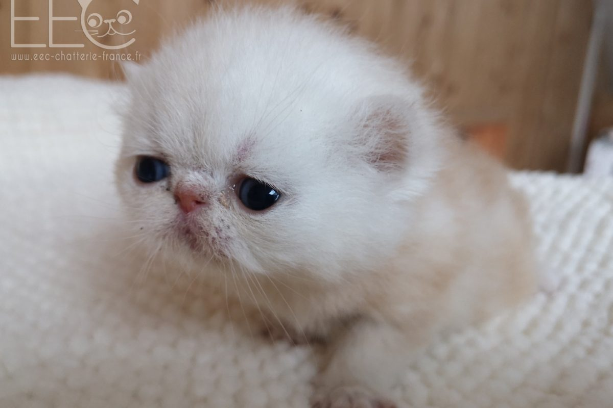 Endless Emotion's Ringo - chaton mâle exotic shorthair red silver shaded