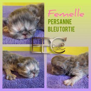 Chatterie Endless Emotion's - chaton femelle persanne bleu tortie