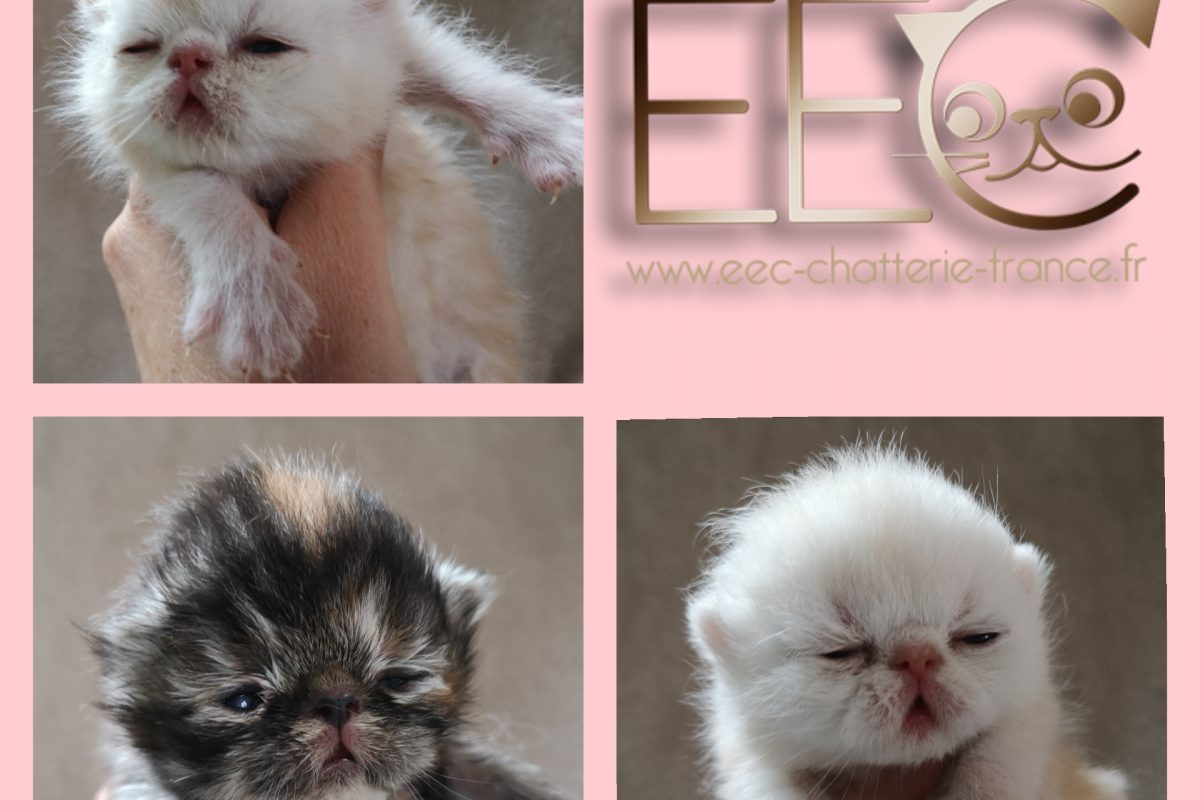 chatons nés dans la chatterie Endless Emotion's le 14 avril 2020