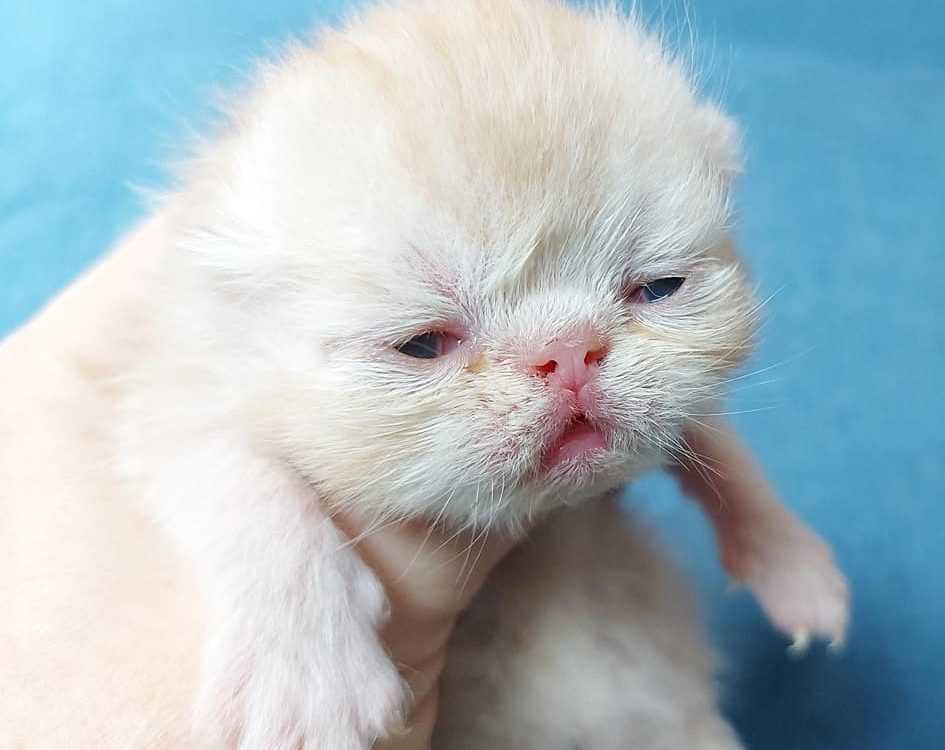chaton exotic shorthaior red silver blotched tabby 7 jours